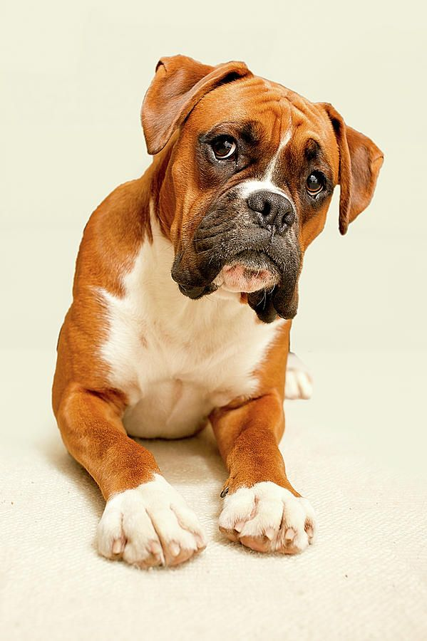Boxers! I want one! Can you tell I have a small obsession with dogs that have smushed in faces! Haha I just love them!