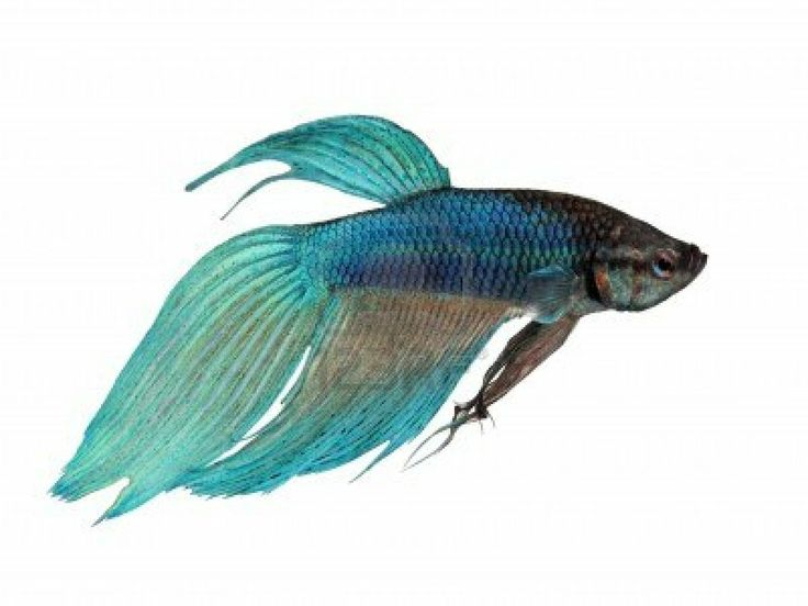 170 best images about inspiration betta fish costume on for Betta fish water change