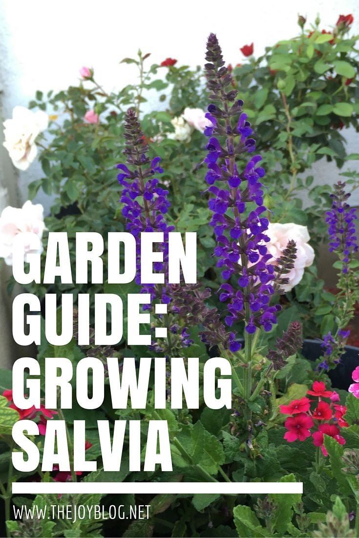 How to grow and care for salvia plants, with some container growing advice, too! Read more.
