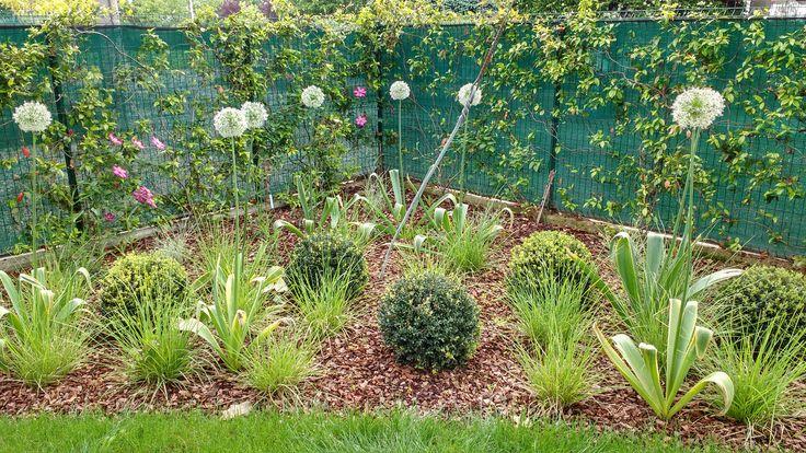 Allium 'Mount Everest' + sesleria autumnalis + ilex crenata