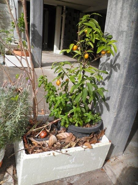 SpurTopia - Our Sustainable Living Story: Growing trees in pots on a concrete…