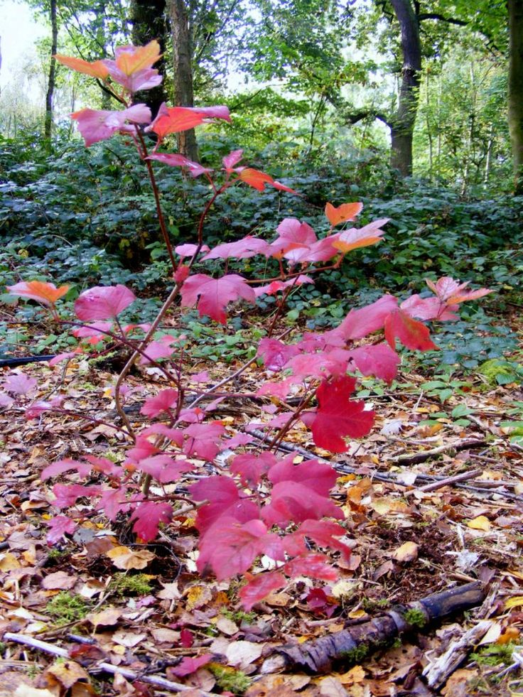 Crimson leaves on the woodland floor at Acornfield Plantation in Kirkby. One of a series of images of Autumn in Knowsley's parks and open spaces.
