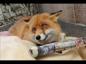 Лиса -патриотка! Хитрая домашняя лиса Лиля пытается добраться до ...