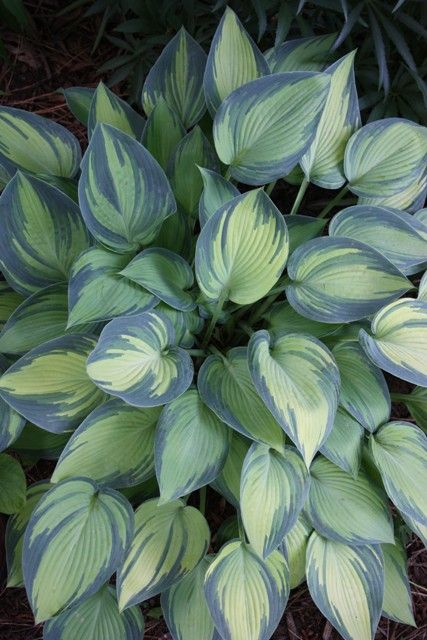 """Hosta 'June' Zone 3-8 15"""" Part Sun to Light Shade From England, creamy-centered sport of standard Hosta 'Halcyon'. Each leaf emerges with blue edges and a brilliant creamy center that gradually changes to dark chartreuse. shockingly beautiful hostas that stands out. some morning sun for best coloration. 3' wide clumps topped with light violet flowers on 20"""" scapes in early summer...attractive to hummingbirds."""