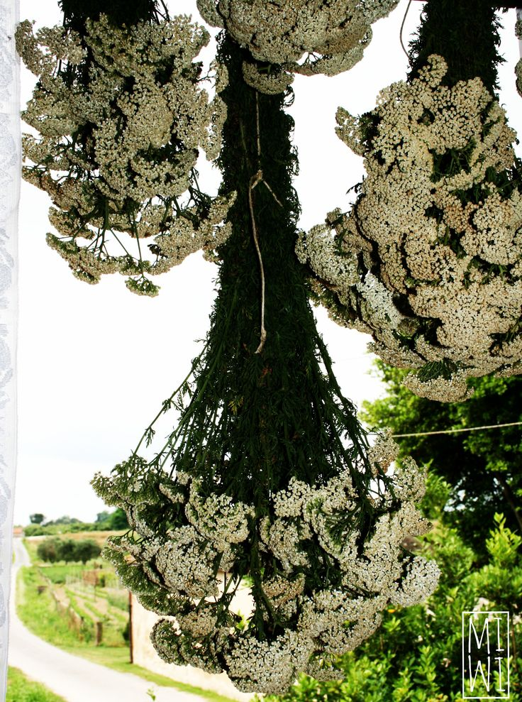 Achillea millefolium - Le erbe di Mimisopa lab