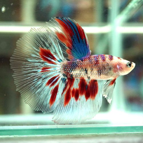 Las 25 mejores ideas sobre pez betta en pinterest betta for Como criar peces koi