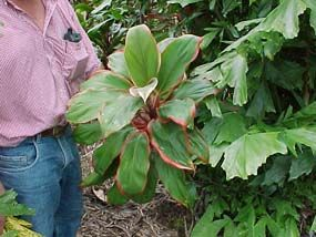 How To Grow and Care For A Cordyline Plant