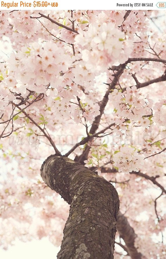 TITLE: Sanctuary DESCRIPTION: A bursting pink Japanese Cherry Blossom tree near the Tidal Basin in Washington, D.C. The entire week up until