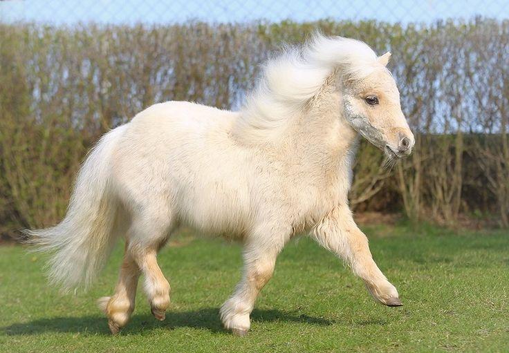 Mini Shetland Pony Mare « Heart of a Horse