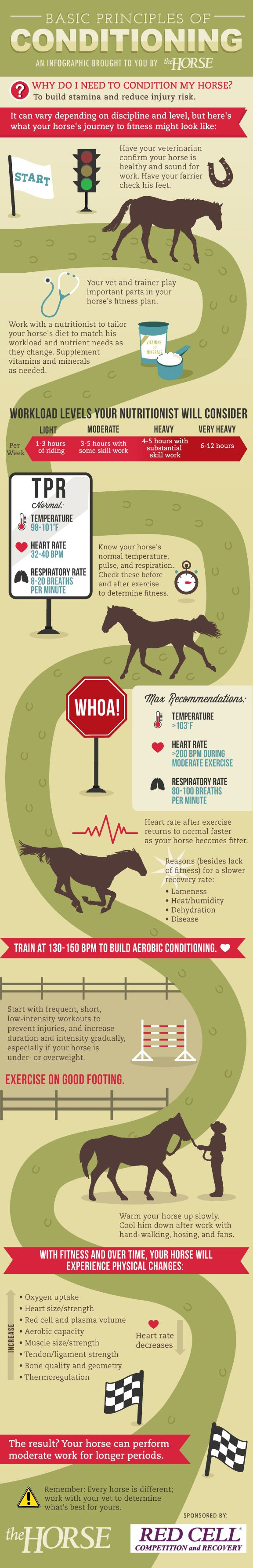 [INFOGRAPHIC] Basic Principles of Conditioning for Horses - TheHorse.com | Learn how to safely take your horse from flabby to fit step-by-step with our visual guide. Brought to you by TheHorse.com and Horse Health Products. #horses #conditioning #horsehealth