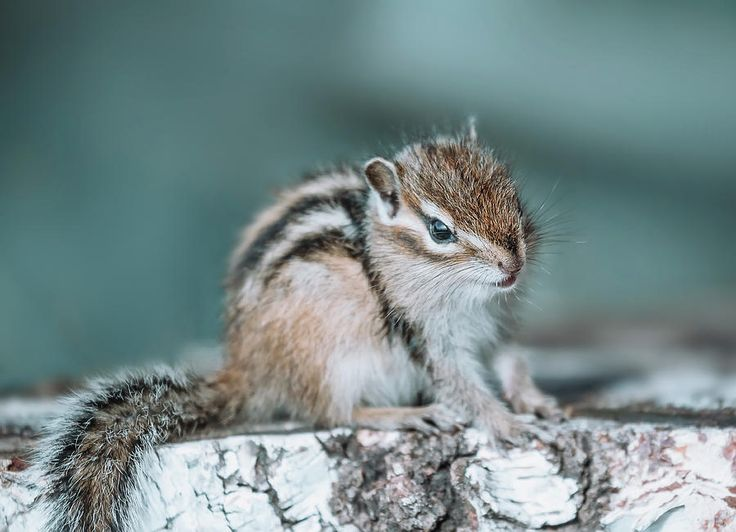 Eastern Chipmunk Sitting On A Tree Stump Photograph by Oksana Ariskina on @pixels and @fineartamerica Cute wild animals! Buy print and other product with my fine art photography online: www.oksana-ariskina.pixels.com   #OksanaAriskina  #FineArtPhotography #HomeDecor #FineArtPrint #PrintsForSale #Chipmunk #Nature #Funny #squirrel #wildanimals #funny #humor #howdoyoupixels