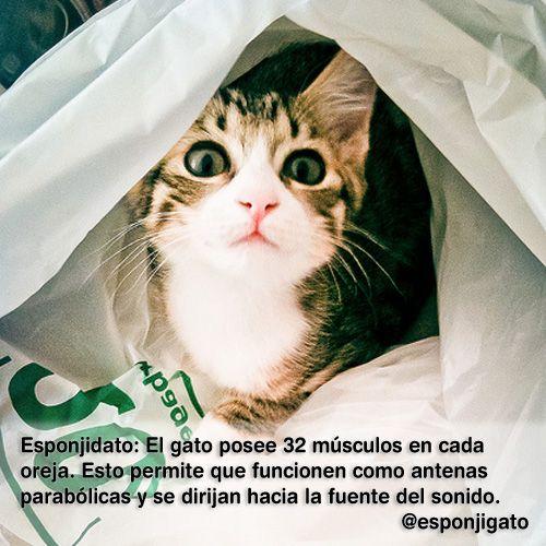 #Esponjidato: El gato posee 32músculos en cada oreja. Esto permite que…