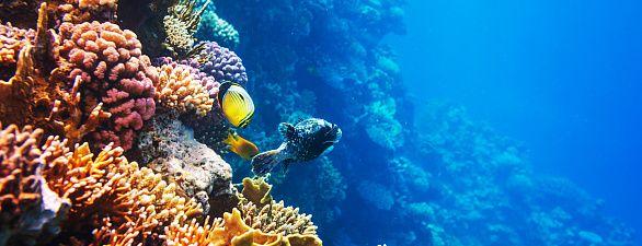 Korallen wechseln im warmen Wasser den Partner
