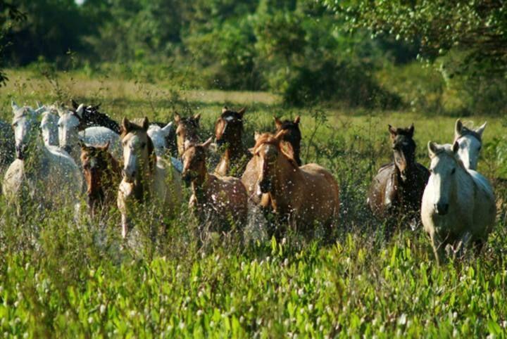 Pantaneiro horse, Mato-Grosso, Brazil. O cavalo pantaneirose destaca como raça no Pantanal Mato-Grossense. Descendente dos animais utilizados pelas tropas portuguesas, ele é reconhecido por sua rusticidade, resistência e versatilidade pa