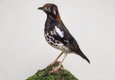 Burung Anis Kembang (Punglor) #burung #bird #hewan #animals #peliharaan #pets #photography