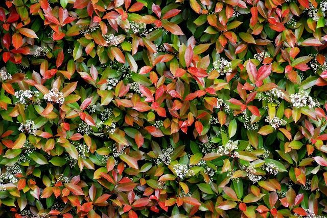 Il mondo in un giardino: Sempreverdi per siepi