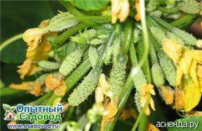 От посева до урожаяВысевают на рассаду пучковые огурцы в конце апреля — начале мая. Через 2-3 недели растения будут готовы поменять подоконник на тепличную грядку...