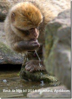 Animal Pictures, The Nice: Berberaap  bewoner van de rots van Gibraltar
