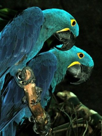 Blue-green and blue = Analaogous Harmony with small accents of yellow (Hyacinth Macaw)
