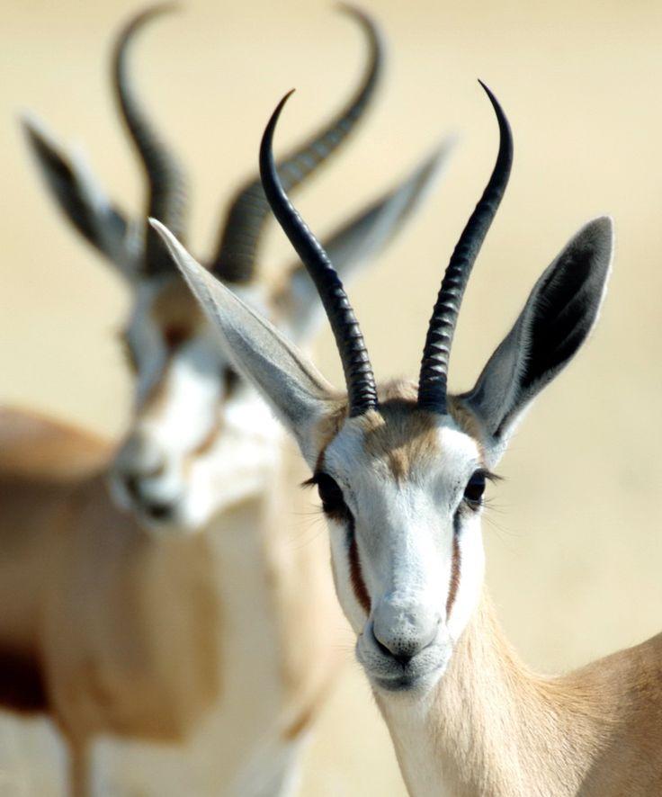 Springboks in Etosha National Park