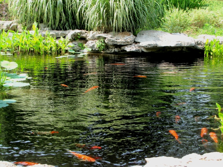 17 best images about koi pond on pinterest underwater for Koi pool water gardens blackpool