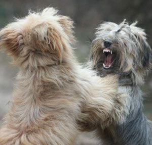 Dog Fighting - Sibling Rivalry