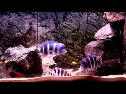Tanganyika Cichlid Fish Tank Aquarium - YouTube