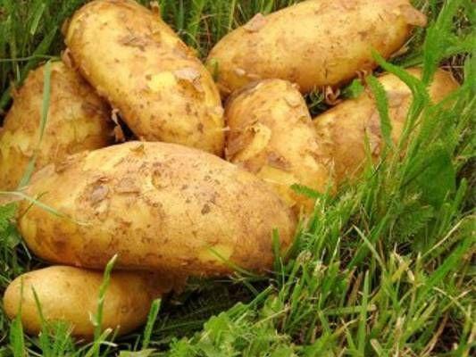 Pěstování brambor v trávě