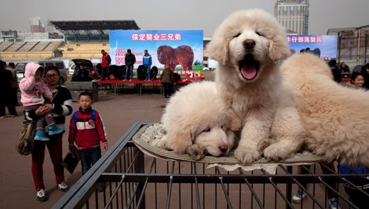 Tibetan Mastiff- I want one so badly! Considered a major status symbol in Asia, these massive, fluffy pooches are fiercely loyal and fetch prices as high as $750,000.