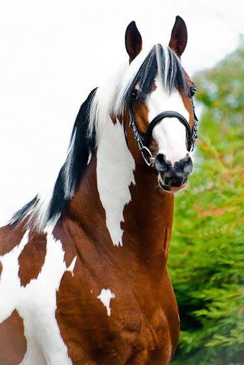 Dutch Warmblood stallion Solaris Buenno