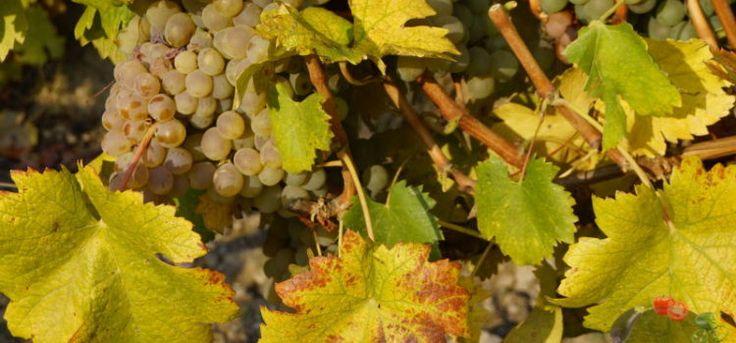 Обработка винограда осенью – как правильно подготовиться к зимовке и обеспечить хороший урожай на следующий год