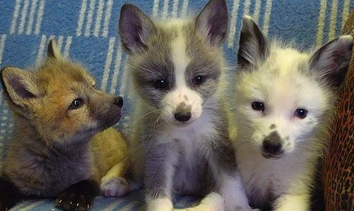 "Look at these cute baby foxes! they snuggle with you like lap dogs and are independent like cats, able to form deep-rooted bonds with human beings."" real tamed foxes by a genetics scientist."