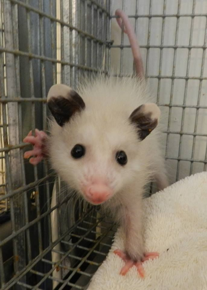 Opossum, beautiful~!!