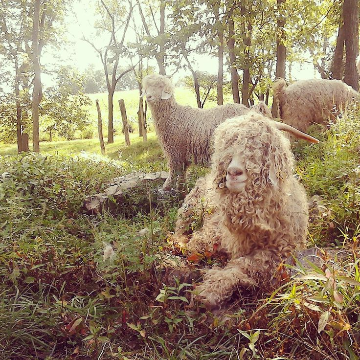 Our stunning Angora goats growing that mohair