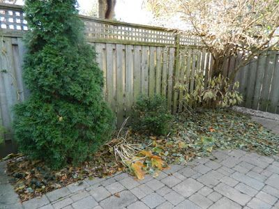 """A Toronto Fall Garden Cleanup in the Greektown-Danforth neighbourhood: A Few More Leaves, A Few More Weeks.... "" by Paul Jung Gardening Services  Half decent days for working outside are fewer as we enter in late November here in Toronto. While it was just above freezing yesterday, working conditions were dry at least.  http://blog.pauljunggardening.com/2017/11/a-toronto-fall-garden-cleanup-in.html  #torontogardencleanup    #toronto_gardening_services  #thedanforth #greektown"
