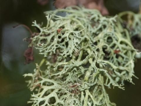 peterorchardnod: My 'high five' from Studland! Oak moss - actually a lichen Evernia prunastri https://t.co/j74uyB2dq7