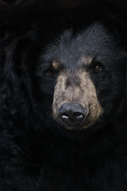 Black bear UP CLOSE.  Photo by Jason Carne.