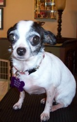 Cookie is an adoptable Chihuahua Dog in EDMOND, OK. Listed 3-05-12  Look at this sweet face....... her name is Cookie. she was an owner surrender. We are so lucky to have gotten they nice little dog. ...