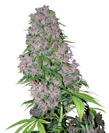 Purple Bud Feminized seeds online- White Label
