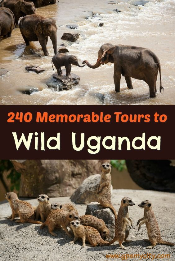 Wildlife Viewing in Uganda: If a wild thing makes your heart sing and you long for an up-close view of leopard spots and Technicolor-like landscapes caught with your own eyes more than any other form of leisure, then you should give yourself a treat and check out the tours below to explore wildlife waiting to be observed on your next holiday trip.
