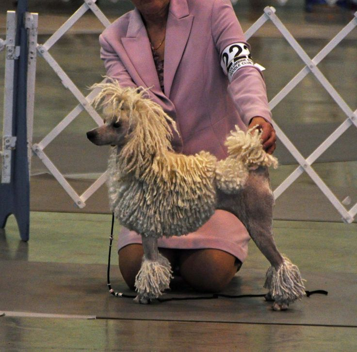 Specialty corded mini poodle.jpg; 1166 x 1151 (@51%)