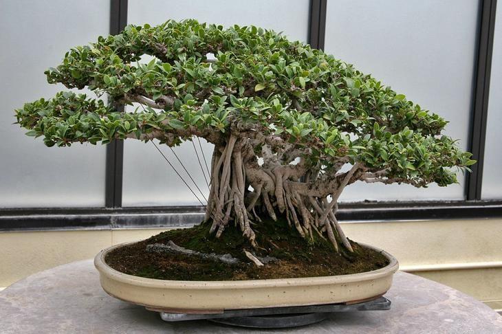 Фикус микрокарпа — дерево-бонсай