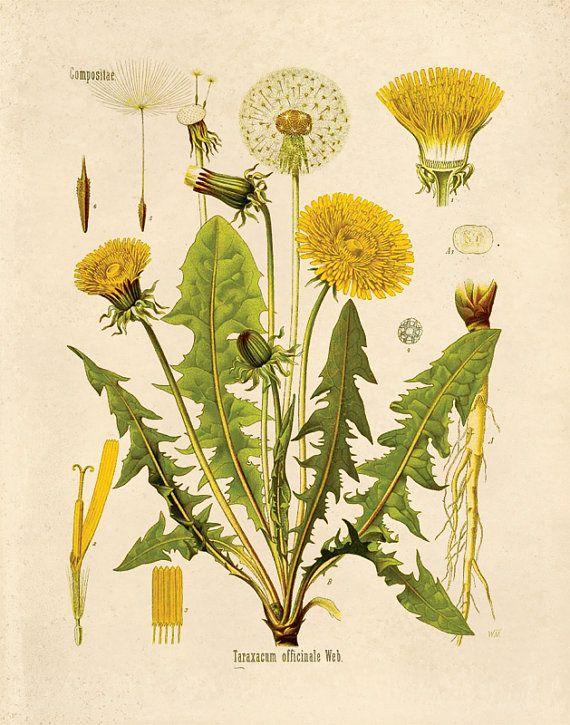 Jahrgang botanische Taraxacum Officinale Löwenzahn Flower Print. Pädagogische Chart Diagramm Poster Pull-Down-Diagramm von Kohler - CP227