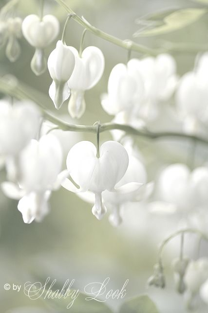 White Bleeding Heart - never knew they existed, other than red ones. Gorgeous!