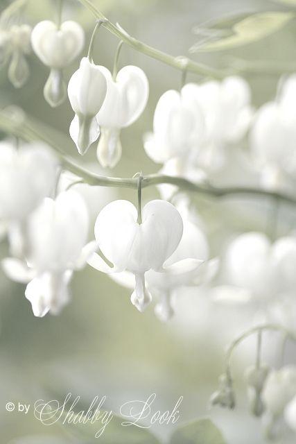White Bleeding Heart