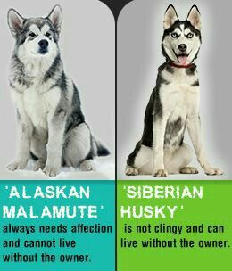 I will take my malamutes any day as they are very independent and loyal and loving at the same time, mine are giant malamutes - 145 lbs!!