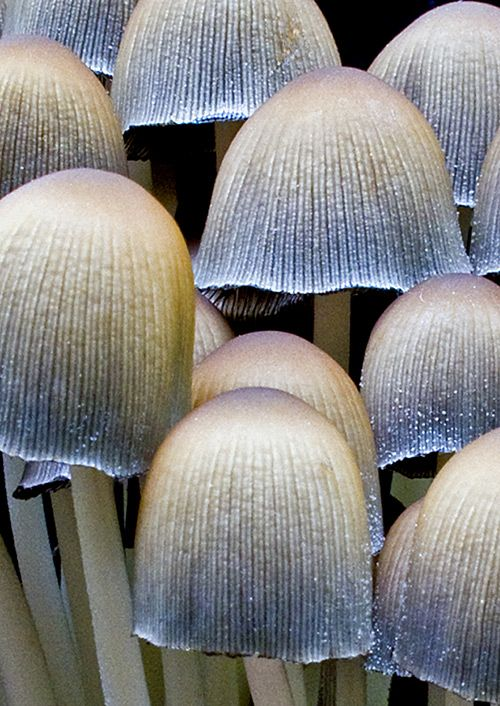 silver mushrooms