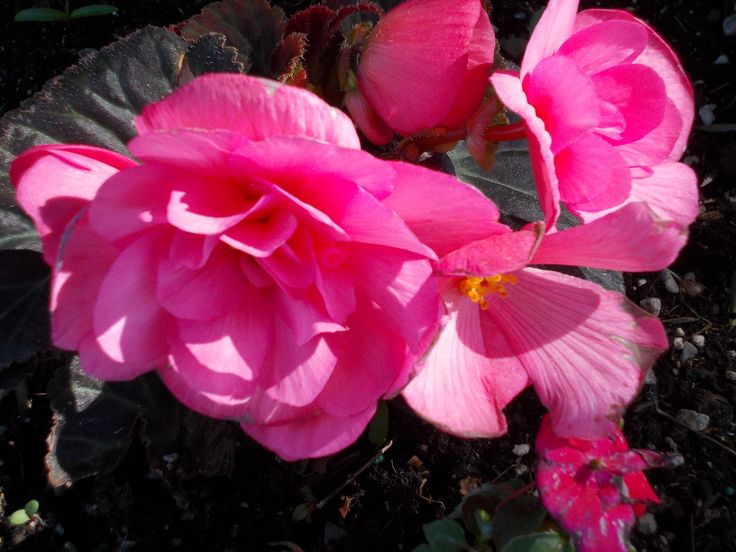 Begonia's in HPR.....