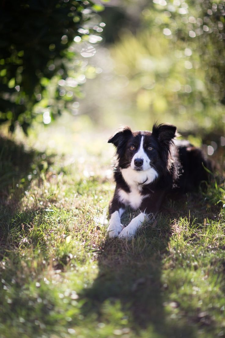 Border Collie Love Border Collies, my favorite breed of Dog