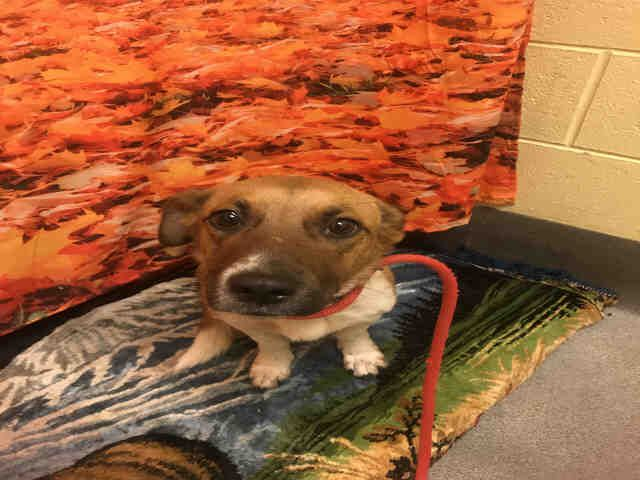 Parson Russell Terrier dog for Adoption in Forestville, MD. ADN-643464 on PuppyFinder.com Gender: Female. Age: Young